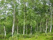 birch mycorrhizal