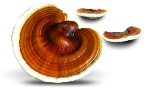 spawn dowels Ganoderma lucidum