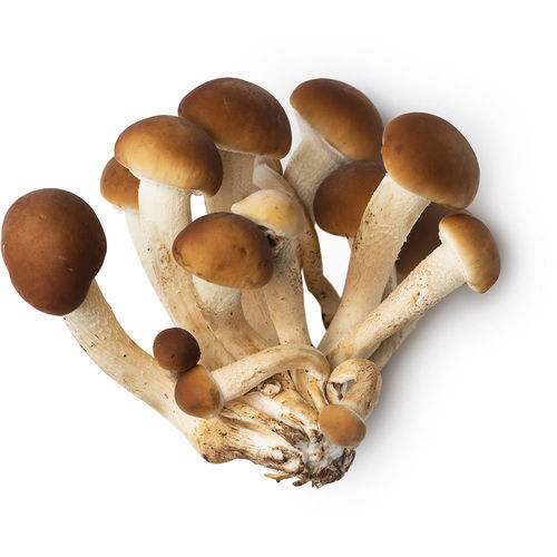 Mother Spawn Agrocybe aegerita - 3 kg