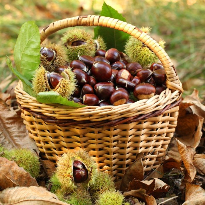 Chestnut harvest in wicker basket