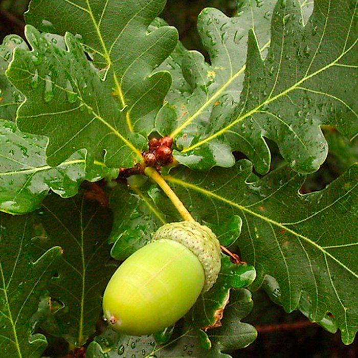 Quercus robur_site