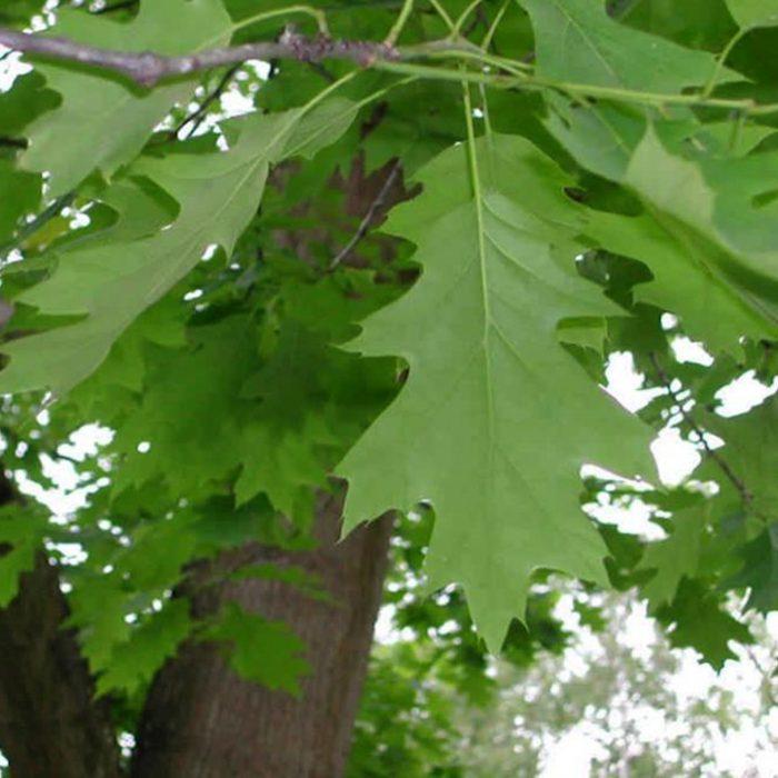 Quercus rubra_site