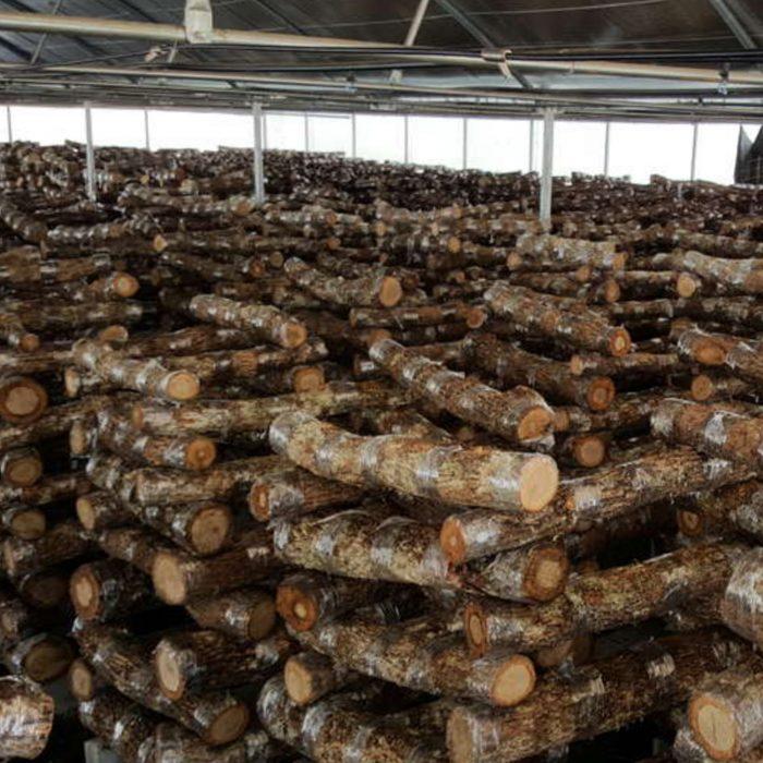 madeira-de-carvalho-inoculado