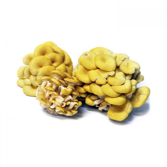 pleurtous-citrinopileatus